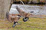 Canada goose angrily chasing a second Canada goose