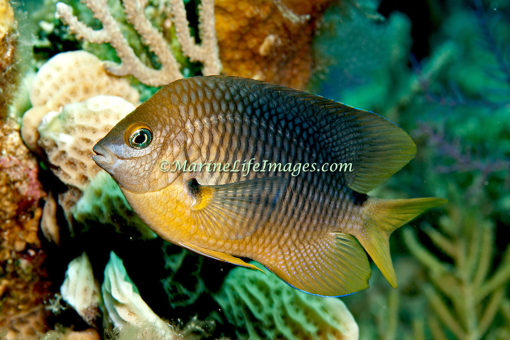 Threespot Damselfish inhabit reef tops in areas with algae in Tropical West Atlantic; picture taken Grand Turk.