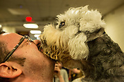 New York, NY - 16 February 2016. Wesley, an affectionate Dandie Dinmont terrier, licks a visitor's face in the benching area of the 140th Westminster Kennel Club Dog show in Madison Square Garden.