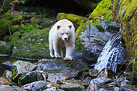 Kermode bear, Great Bear Rainforest, British Columbia, Canada