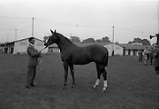 25/09/1962<br /> 09/25/1962<br /> 25 September 1962<br /> Goffs September Bloodstock Sales at the RDS, Dublin. Chestnut colt from Airlie Stud, Co. Kildare, Lot 226, for Mr Frank C. Sullivan 4050 West 150th Street, Cleveland, Ohio, United States, pictured at the stables in the RDS.