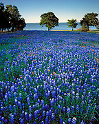 Bluebonnets (Lupinus texensis), live oak trees (Quercus virginiana) and Indian paintbrush (Castilleja indivisa) near Lake Buchanan, Llano County, TX / #HC029