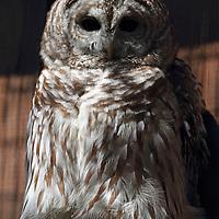 A Barred Owl, Strix varia, perched on a rail. Lehigh Valley Zoo, Schnecksville, Pennsylvania, USA
