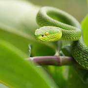 White-Lipped Pit Viper (Trimeresurus albolabris) female in Kaeng Krachan national park, Thailand
