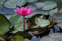 Water Lily, magenta #10 horiz