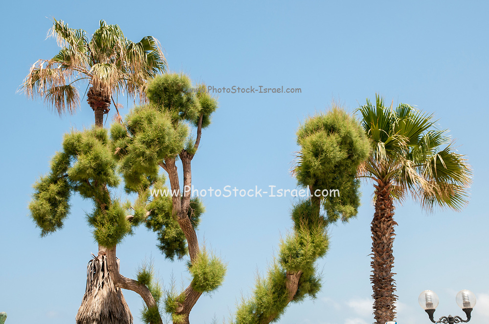 Pruned trees in a garden on a blue sky background