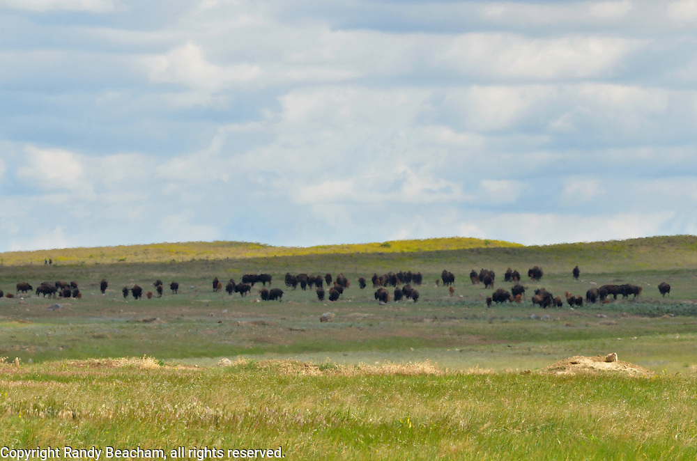Heat waves rise at a prairie dog town with a herd of bision on the Great Plains of Montana at American Prairie Reserve. South of Malta in Phillips County, Montana.
