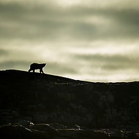 Canada, Nunavut Territory, Repulse Bay, Silhouette of Polar Bear (Ursus maritimus) walking along ridge of Harbour Islands along Hudson Bay on summer morning