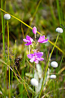 Common grass-pink orchid growing in the Apalachicola National Forest. This delicate beauty can be seen nearly all over the state where there are seepage swamps or bogs near pinelands.