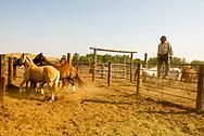 Henry Real Bird, Real Bird Bucking Horses, look over their horses, Crow Fair Rodeo, Montana