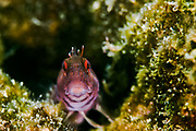Blenny stares at the lens in this underwater macro image taken near Egmont Key, Florida