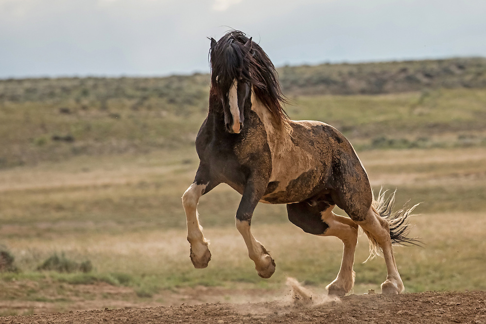 When approached by a rival, the wild stallion, Washakie, reared up in defiance in an effort to protect his mares. After such a graceful, yet powerful, display of dominance, the rival retreated and Washakie returned to grazing.