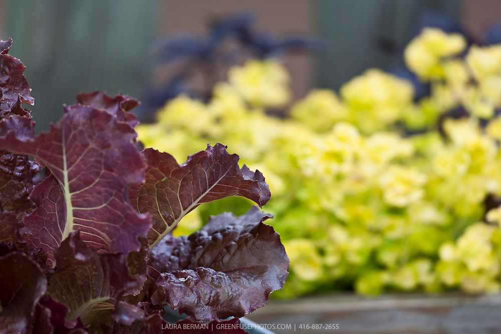 Darl red leaf lettuce in a container garden