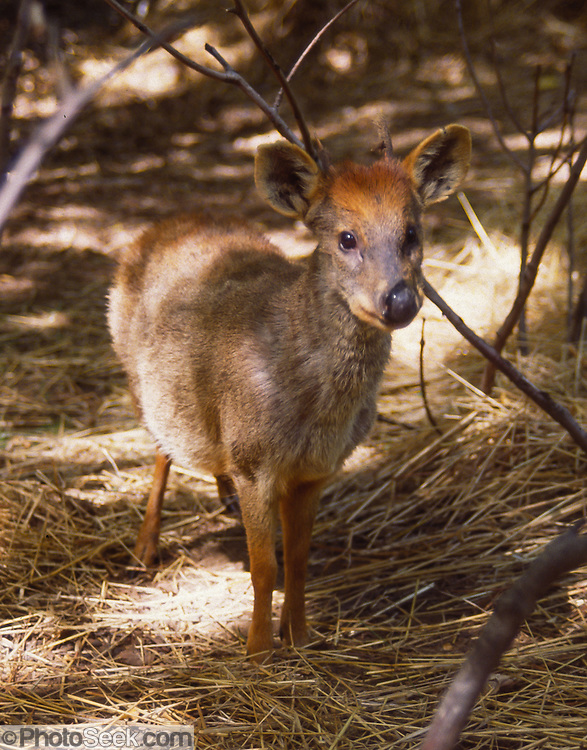 The Pudu of South America is the world's smallest deer genus. This photo shows a captive Southern Pudu (Pudu puda) living in a fenced area in Vilches nature reserve, near Talca in the Maule Region, Chile. Historically, the Maule river marked the southern limits of the Inca Empire.