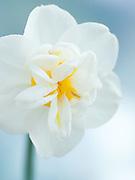 Narcissus 'Cheerfulness' - daffodil