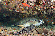 green sea turtle, Chelonia mydas, resting under ledge, Rainbow Reef, North Male Atoll, Maldives ( Indian Ocean )