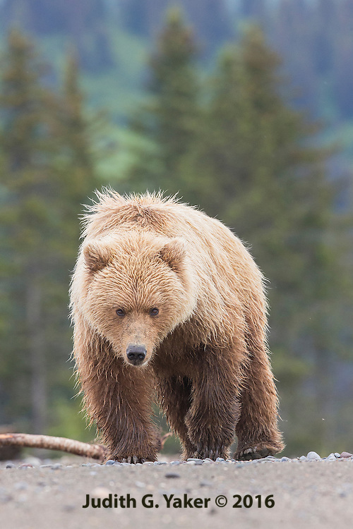 Coastal Brown Bears of Alaska