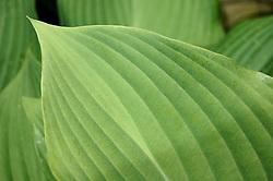 Study #1: Hosta Leaf Lines