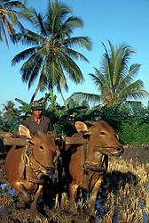 Asia, Indonesia, Bali, near Singaraja. Farmer and cows plow a rice paddy below coconut palms.