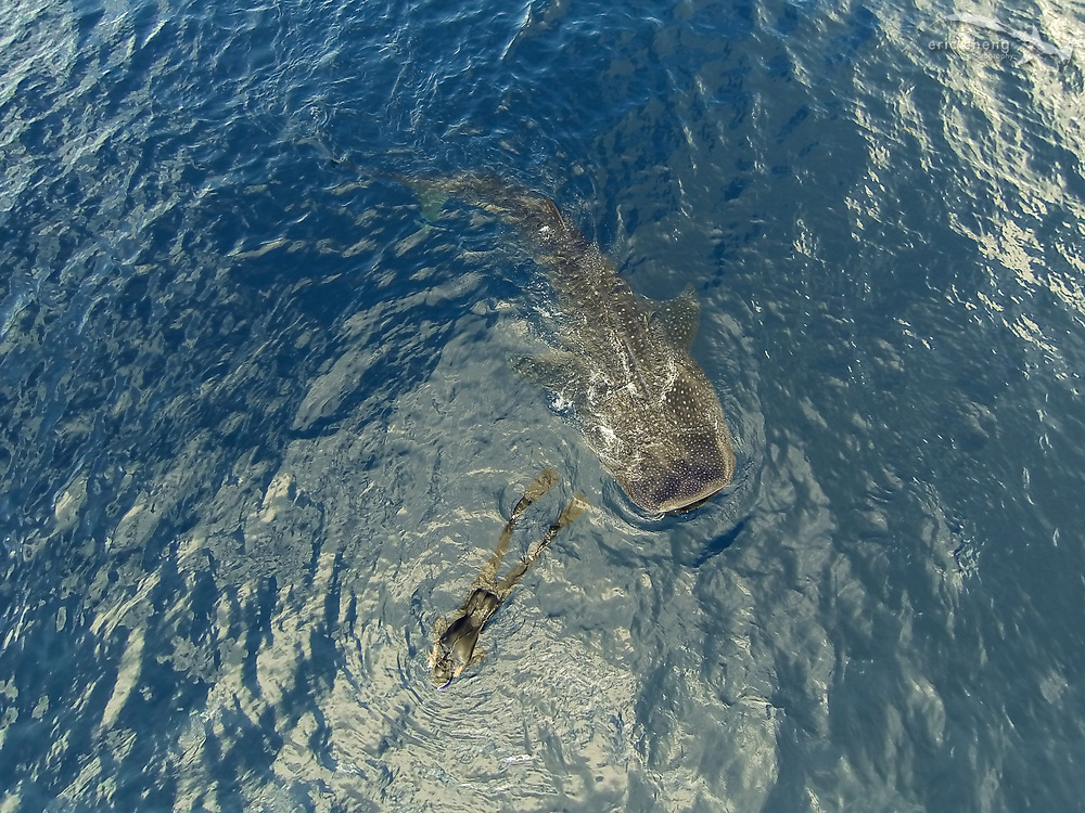 Underwater photographer Tony Wu has a whale shark (Rhincodon typus) sneak up on him. Isla Mujeres, Mexico.