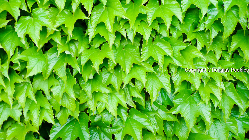 Green VineMarlborough, South Island, New Zealand