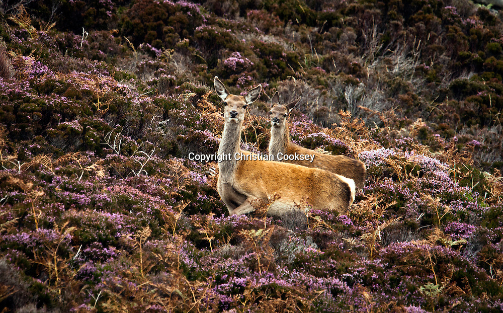 On a recent trip to North Uist to photograph otters, Ii was fortunate enough to meet a Red deer hind and her fawn on the moor above Loch Eport where I was positioned trying to get my otter pictures. I saw the hind out of the corner of my eye and had a good two minutes before the wind shifted and she caught my scent and moved on with her fawn. I was using a Nikon D3 with a Nikkor 600mm lens and 1.4 teleconverter. Picture Christian Cooksey. Evening Times Group Multimedia Editor/Photographer