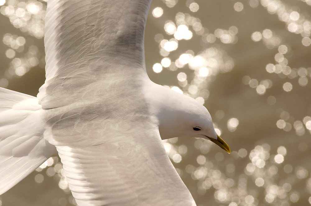 A closeup looking down on a seagull from above as it glides over the glittering water.