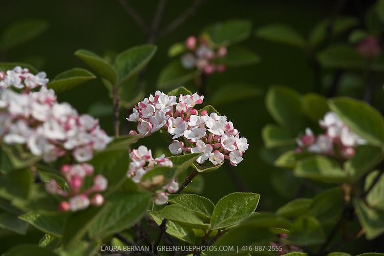Viburnum x juddii, Judd Viburnum
