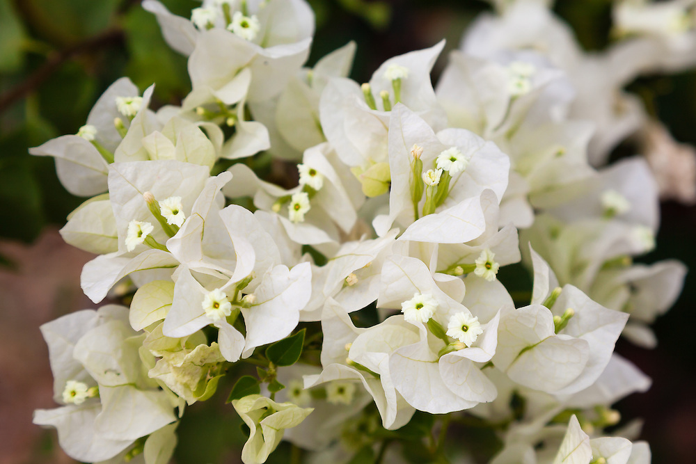 White version of Paper Flower (Bougainvillea glabra) a woody vine or small shrub that grows wherever it is warm. This one is on St. John, USVI.