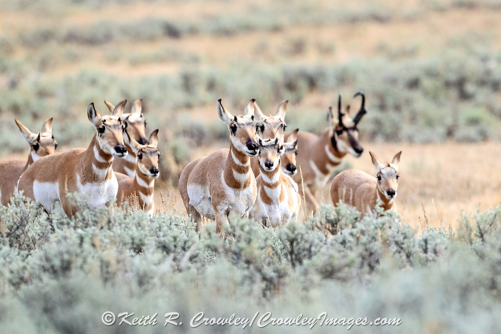 A buck Pronghorn follows does and fawns across a sagebrush flat in Wyoming.
