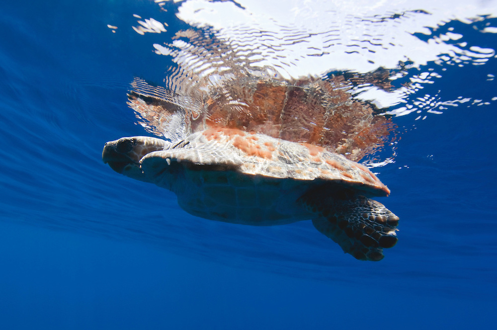 Reflected loggerhead turtle, Caretta caretta, basking in the sun, Pico, Azores, Portugal