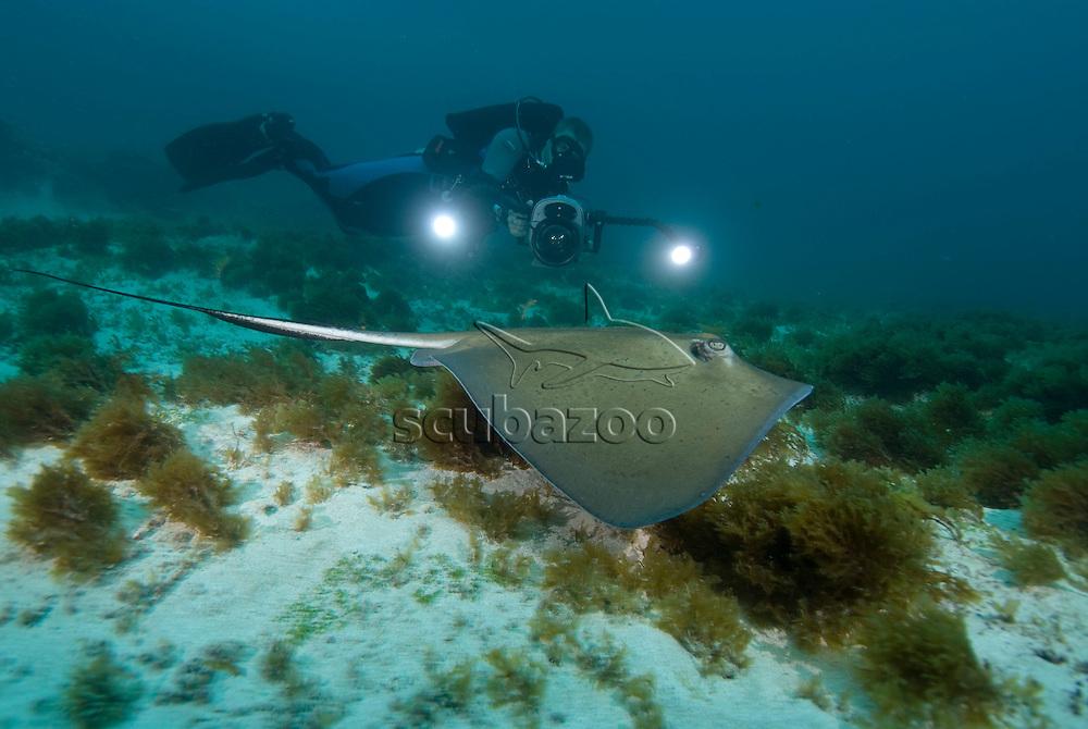 Southern Stingray, Dasyatis americana, being filmed, Fernando de Noronha, Brazilian Coast, Atlantic Ocean, Brazil.