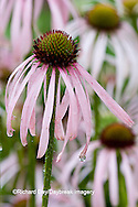 63821-19819 Pale Purple Coneflowers (Echinacea pallida) Marion Co. IL