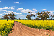 dirt track through canola crop