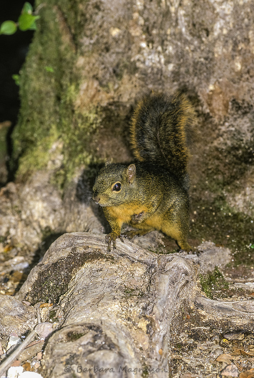 Variegated Squirrel [Sciurus variegatoides] foraging; Volcan Poas National Park, Costa Rica