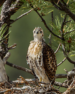 Nestling red-tailed hawk on nest in ponderosa pine tree looking intently. © 2011 David A. Ponton [Prints to 8x10, 16x20, 20x24 or 24x36 in. with no cropping]