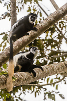 Black and white colobus monkey, Kibale Forest National Park, Uganda.