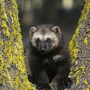 Wolverine (Gulo gulo) young kit during spring in the Rocky Mountains of Montana. Captive Animal