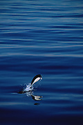 Southern Rightwhale Dolphin<br />