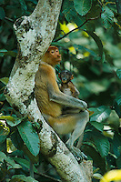 A proboscis monkey and her four-week-old baby at rest in a tree..Menanggul River area, Lower Kinabatangan Wildlife Sanctuary, Borneo Island.