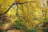 Trail along Jones Hole Creek and Boxelders in fall. Dinosaur National Monument, Utah.