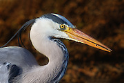 Closeup of Grey Heron with a fish in it's beek | Nærbilde av en Gråhegre med en fisk i nebbet.