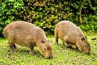 Capybara, the largest living rodent in the world. Blumenau, Santa Catarina, Brazil. / <br /> Capivara, o maior roedor do mundo. Blumenau, Santa Catarina, Brasil.