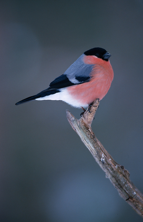 Male bullfinch on pine branch perch.....NIALL BENVIE PORTFOLIO MALE BULLFINCH ON PINE BRANCH PERCH PYRRHULA EUROPE NORWAY SOR TRONDELAG FINCHES PASSERINE VERTICAL COLOURFUL BRIGHT PINK BLUE WILD ADULT ONE PERCHING ORCHARD DAMAGE WOODLAND BROAD LEAVED GARDEN FARMLAND 1999 FEBRUARY WINTER.. ... .. ..