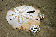 Sand dollar in shallow water on Praia Grande, Ilha do Mel, Brazil, South America