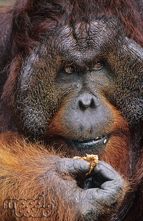 Male Orangutan eating close-up