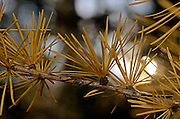 Western larch needles in fall. Yaak Valley Montana