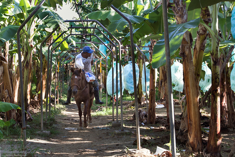 A GUIDOM employee rides a horse as he pulls recently harvested bananas along a hook-and-rail system towards the packing plant. GUIDOM is a single-owner banana plantation in northern Dominican Republic that exports bananas certified by the Fairtrade Labelling Organization (FLO). It employs 450 workers from which only 32 are Haitian. As of December 2014, GUIDOM exports 35% of its total production via FLO to Switzerland and England. Once GUIDOM finishes processing its organic certification, it hopes to export 100% of its production as organic bananas via FLO. Hato Nuevo, Mao, Valverde, Dominican Republic. December 6, 2014.