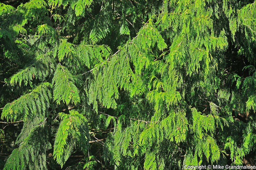 Cedar foliage, Souteast of Hope, British Columbia, Canada
