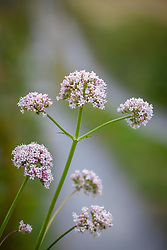 Common Valerian growing by the side of a lane in the Burren, Ireland. Valeriana officinalis